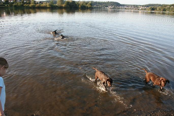 Junghunde beim Schwimmen