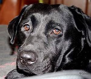 Hund Vilma