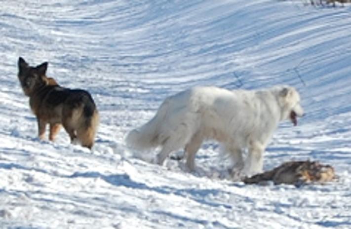 Wildernde Hunde